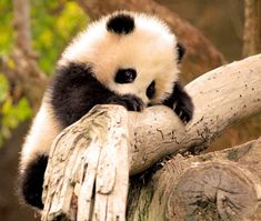Some adorable baby Panda Images. Got to love Panda's. Newborn Panda's are super small. About 3 to 5 ounces when they are born. Pandas are born born pink, and covered in short white hairs. It Its eyes are shut tightly and it cries very loudly and often. Niedlicher Panda, Panda Love, Cute Panda, Tiny Panda, Bored Panda, Panda Eyes, Panda Puppy, Panda China, Hello Panda