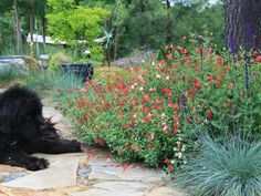 A Nice Spot for a Rest This Newfoundland dog must be enjoying the aroma and color of the Salvia farinacea and Blue Fescue (Festuca ovina glauca). Gardening Zones, Small Space Gardening, Vegetable Gardening, Planting, Garden Shrubs, Garden Paths, Xeriscape Plants, Cut Garden, Unique Gardens