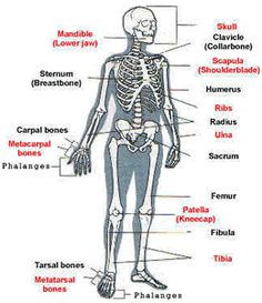 skeleton label worksheet with answer key | Anatomy and Physiology ...