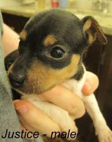 1000+ images about Rat terriers on Pinterest | Rat terriers, Rat terrier puppies and Terriers