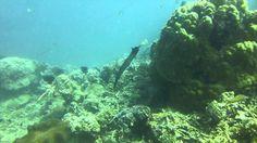 Video Trumpetfish   Pata Negra Alona Panglao Bohol Bohol, Scuba Diving, Island, Beach, Diving, The Beach, Islands, Beaches