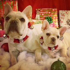 French Bulldogs at Christmas