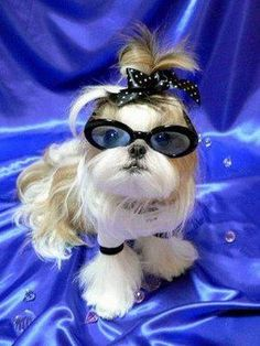 shih tzu hair doo and glasses TO CUTE Chien Shih Tzu, Shih Tzu Puppy, Shih Tzus, Cute Puppies, Cute Dogs, Dogs And Puppies, Bear Dogs, Shitzu Puppies, Chihuahuas