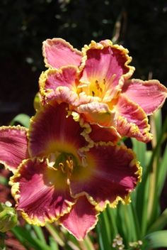 prized daylily collection at otter creek primitives