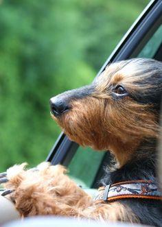 Wirehaired dachshund.