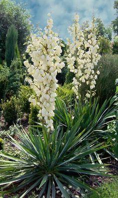 Yucca Filamentosa, Desert Oasis, Plant Design, House Front, Garden Plants, Perennials, Lush, Vines, Succulents