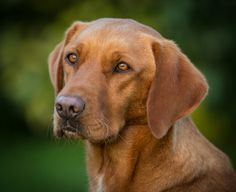 Fox Red Labrador.  Smokey.  What a love and the smartest dog I've ever known.