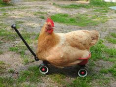 Chicken Wagon :-)