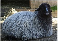 The Karakul sheep breed is a fat tailed sheep that is possibly the oldest of the domesticated sheep, dating back to 1400 B.C. in Persia. Fat tailed sheep are about 25 percent of the world sheep population and have a distinctive taste. Karakul sheep are found in very arid regions of Africa, the Middle East, and Asia. Extremely hardy, they are raised for meat, milk, pelts, and wool. They were introduced into the U.S. in the early 20th century for pelt production.