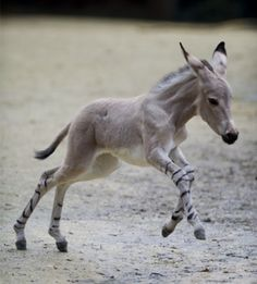 a Somali Wild Ass Foal. These are members of the horse family Equidae. They are found in the deserts and arid areas of northeastern Africa, Ethiopia and Somalia. Wild ass are thought to be the ancestors of the domestic donkeys.