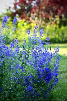 Veronica austriaca subsp. teucrium 'Crater Lake Blue' designer/photo: michaela medina harlow thegardenerseden.com