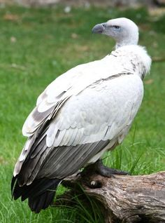 Cape Vulture - They are Old World Vultures. They weigh around 15-25 lbs, and have a wingspan of 243-260 cm, and they are 100-115 cm long. They are also called Cape Griffon, or Kolbe's Vulture. They are found only in southern Africa. They are dark brown in color. According to the IUCN, they are 'vulnerable', and need to be protected. Read more at Buzzle: http://www.buzzle.com/articles/types-of-vultures.html