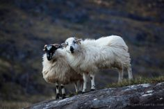 Irish Sheep Couple. Ireland