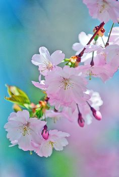 Pastel Pink Peach Blossoms