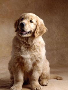 Golden Retriever Puppy 3 Stamp in each seller & make purchase online for cheap. Choose the best price and best promotion as you thing Secure Checkout you can trust Buy bestHow to Golden Retriever Puppy 3 Stamp Online Secure Check out Quick and Easy. Cute Puppies, Cute Dogs, Dogs And Puppies, Doggies, Corgi Puppies, Puppy Husky, Funny Dogs, Pomeranian Puppy, Photos Of Puppies