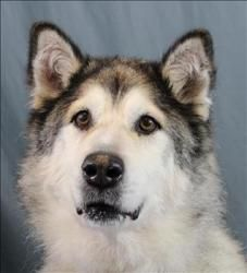 Cassidy is an adoptable Alaskan Malamute Dog in San Luis Obispo, CA.  Primary Color: White/black Weight: 97.3 Age: 11yrs 0mths 0wks  Animal has been Spayed...