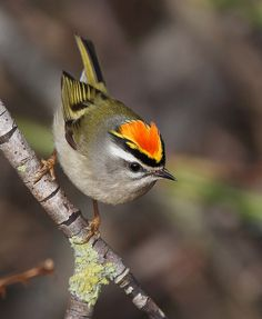 Golden-crowned Kinglet (Regulus satrapa). The adults all have yellow patches on top of their otherwise dull brown feathers but the males are the only ones who sport the extra splash of red.