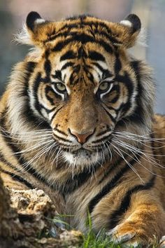 The Sumatran Tiger is the smallest of all tigers.