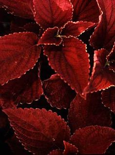 'Burgundy Sun' SuperSun Coleus - I think this is the plant I just saw in a mixed container at Walmart. If so, LOVE the color & NEED this plant. ;-)