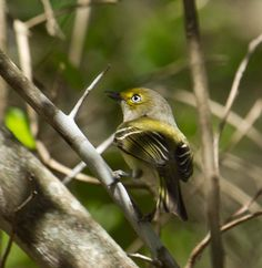 The only fossil record in North America for the entire Vireonidae family is the wing bone of a white-eyed vireo from about 400,000 years ago!  Photo: White-eyed vireo courtesy of Mark Watson/Creative Commons.