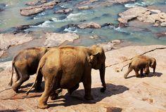 #Thailande . En Thaïlande, les éléphants sont vénérés et comptent parmi les symboles les plus puissants de la culture thaïlandaise. Un dicton dit même que la Thaïlande n'existerait pas sans les éléphants. La société thaïlandaise est restée très respectueuse de ces animaux qui attirent beaucoup les touristes occidentaux. De nos jours, l'éléphant reste un inégalable moyen de locomotion dans la jungle et peut atteindre une vitesse de 23 km par heure. http://vp.etr.im/ab8