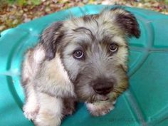 A Glen of Imaal Terrier Pup, posing for the camera. Moments later, sampling the camera...