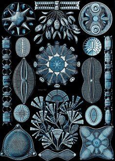 Diatomea algae Ernst Haeckel Scientific Illustration