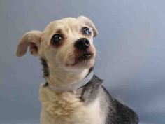 SAFE 9-16-2015 by  Rebound Hounds --- SUPER URGENT Manhattan Center EUSTACE – A1051256  I am an unaltered male, white and black Chihuahua – Smooth Coated mix.  The shelter staff think I am about 15 years old.  I was found in NY 10013.  I have been at the shelter since Sep 12, 2015.
