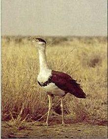 Great Indian Bustard/Ardeotis nigriceps/Kharchal/Hoom/Hookna/Gaganbher/Gurayin/.  50-249 known