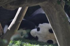 An intimate view of Baby and Mama panda