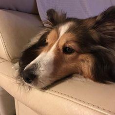 何見てるのよー👀 #sheltie #shetlandsheepdog #dog #dogstagram #instadog #いぬ #愛犬 #シェットランドシープドック #シェルティ#シェルティー
