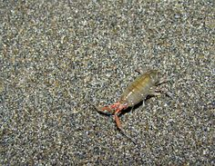 Sand flea bites come from the sand flea, an insect-like crustacean with colors ranging from brown to black.  URL:  http://spiderbites.net/