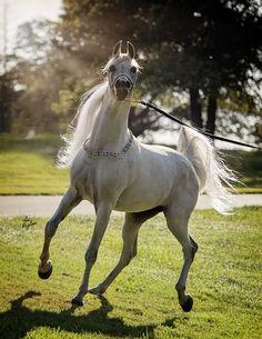 Skoroneek IA+ ( *Ecaho x BA Famous Lace by Fame VF) 2006 stallion bred by Illusion Arabians, California