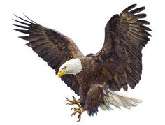 Illustration about Bald Eagle landing swoop hand draw and paint on white background vector illustration. Illustration of eagle, feather, bald - 73666019 Eagle Images, Eagle Pictures, High Pictures, Fly Drawing, Eagle Drawing, Bald Eagle Tattoos, Wolf Tattoos, Animal Tattoos, Eagle Painting