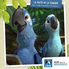 Rio 2 enfin disponible à la maison ! Ceux qui n'ont pas eu l'occasion de suivre les aventures de Blu et de Perla, deux Ara de Spix (Cyanopsitta spixii) au Brésil ou ceux qui souhaitent retrouver l'ambiance tropicale et colorée de ce deuxième opus vont enfin avoir la chance de découvrir ou de redécouvrir le périple de ces deux perroquets bleus !  Plus d'infos : http://www.lpo.fr/actualites/rio-2-enfin-disponible-a-la-maison  Rio 2 © 20th Century Fox/Blue Sky Studios