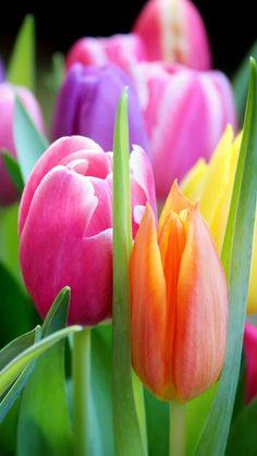 Tulips Garden, Tulips Flowers, Flowers Nature, Exotic Flowers, Amazing Flowers, Beautiful Roses, Pretty Flowers, Planting Flowers, Beautiful Flower Arrangements