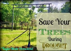 After I planted my small tree, our area once again slipped into a drought. See what we did to easily keep my tree alive and THRIVING during the drought. #TaylorMadeRanch