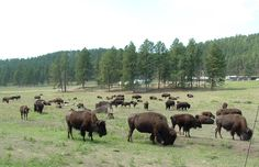 custer state park   custer state park custer state park bison herd custer state