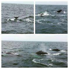 Whales!! #whalewatching #boston #bostonharborcruises By Instagramer @joeroe23 Iconosquare – Instagram webviewer