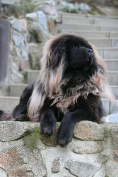 Tibetan Mastiff. I WANT! SO PRETTY!