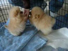8 week old Pomeranian puppies! they are little poofs with tails! I'm dying from the cuteness.