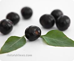 BENEFITS OF ELDERBERRIES. Elderberries, also known as Sambucus, have been used in natural medicine for decades. These small, dark berries grow on the Elder Tree and have been known to have incredible benefits throughout the body.