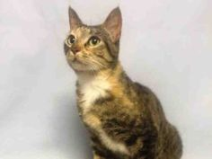 10/1*** Save me! Help us Save NYC AC&C Shelter Cats SCOTTY A1090712 ** SCOTTY – A1090712  SPAYED FEMALE, TORBIE, DOMESTIC SH MIX,5 yrs OWNER SUR – EVALUATE, NO HOLD Reason PERS PROB Intake condition UNSPECIFIE Intake Date 09/21/2016, From NY 11421