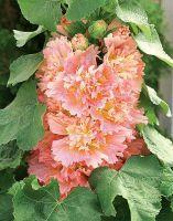 CELEBRITES APRICOT Spring, Garden, Plants, Garten, Lawn And Garden, Gardens, Plant, Gardening, Outdoor