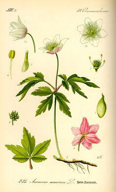 Anemone Botanical......................................................................................................tafel_078.jpg (1399×2311)