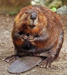 Funny pictures about Beaver Pick Up Line. Oh, and cool pics about Beaver Pick Up Line. Also, Beaver Pick Up Line photos. Animals And Pets, Funny Animals, Cute Animals, Wild Animals, Castor Animal, North American Beaver, Le Castor, Beaver Dam, Otters