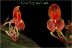 Miniature-Orchid: Lepanthes reticulata [Left in Side-view; Right in Front-view] - Flickr - Photo Sharing!