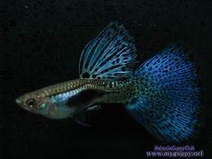 blue grass giant dorsal