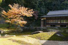 円覚寺の紅葉は見事でとくにこの庭園の木は毎年よく色づきます