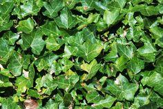 Houseplants to Help You Sleep Invasive Plants, Sleeping Pills, Sleep Help, Houseplants, Herbalism, Herbs, Health, Gardening, Ivy
